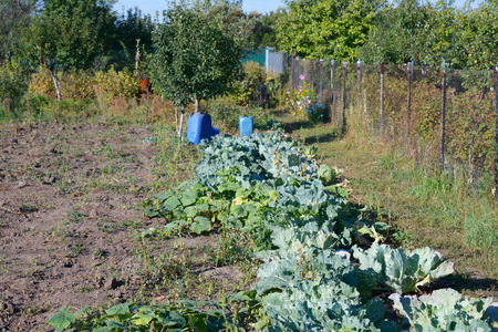 treed: garden with cabbage, squash and pumpkin growing, with water container nearby