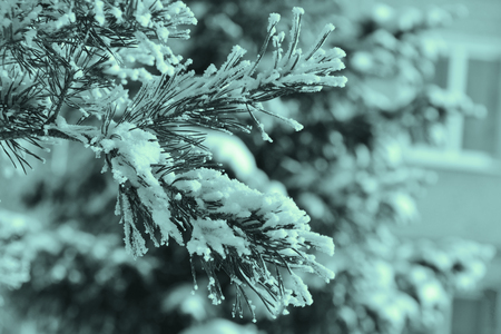 pine spruce: green pine spruce with snow, toned Stock Photo