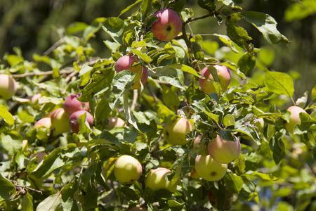 macintosh: ripe apples on the tree, sunlit