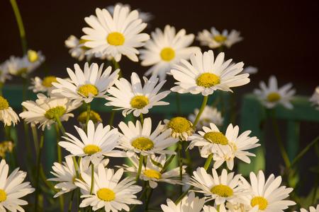 white leucanthemum flowers in the park Stock Photo