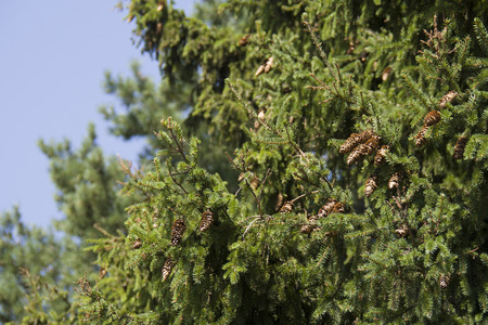 fir tree with cones as a background