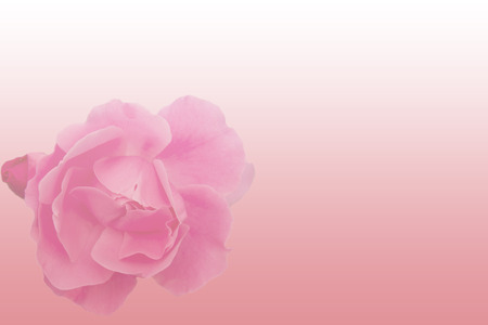 pink gradient background with a big rose
