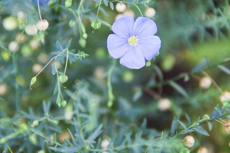 blue flax flower in summer