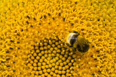 closeup of the bee collecting honey on the sunflower Stock Photo