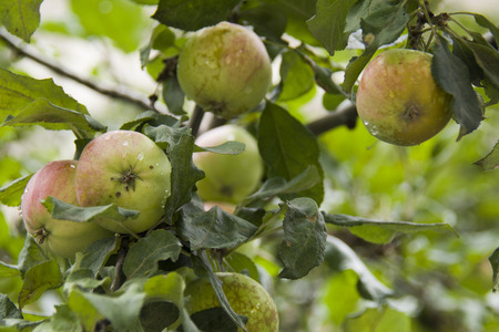 apples in summer on the tree, under the rain Stock Photo