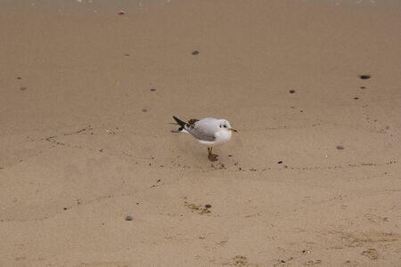 white headed seagull standing on the beach