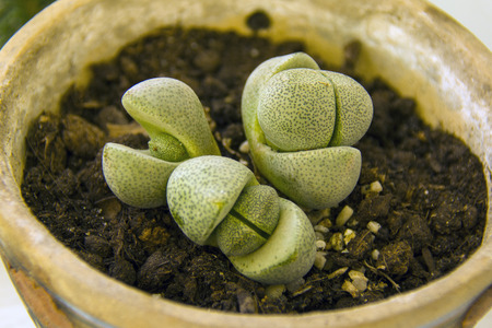 small lithops cactus in a pot, closeup