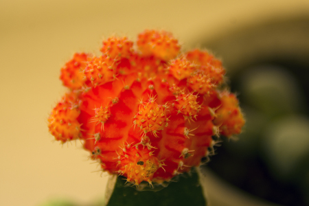 bright orange gymnocalycium cactus closeup, detail Stock Photo