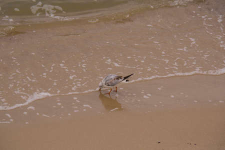 lonely grey seagull drinking water, on the beach