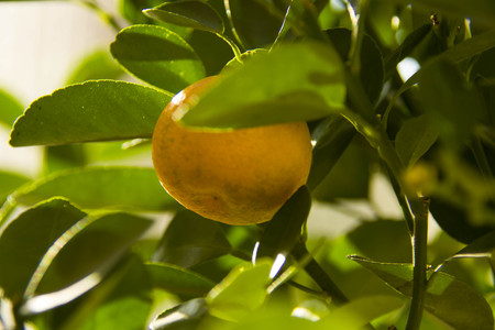 fruit of calamondino amng the leaves, in good weather