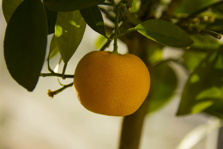 ripe fruit of calamondino on the plant Stock Photo