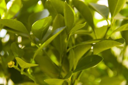 young leavs of calamondino, in the sunlight Stock Photo
