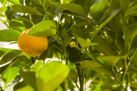 calamondino plant with fruit, ripening, in good weather