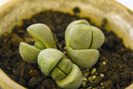 three lithops springs in a pot, growing