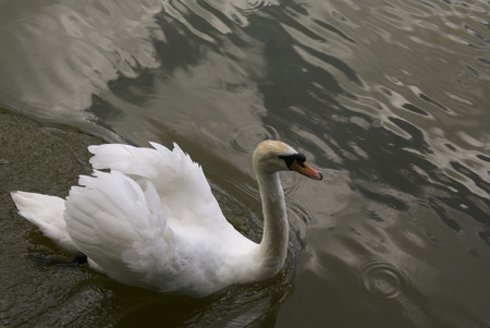 white swan in water, floating