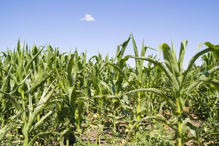 corn in the field, growing, in sunny weather