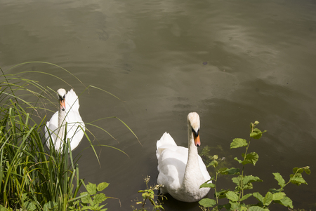 two swans in water behind the grass, in summer Stock Photo