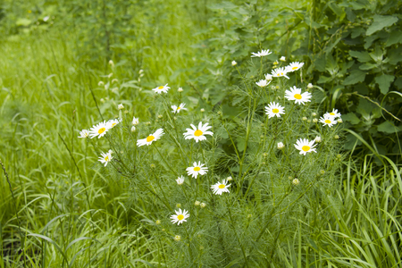 small camomile flowers in the meadow Stock Photo