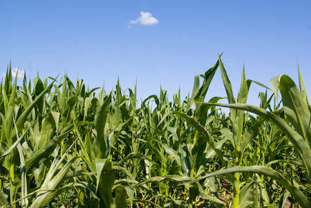 corn growing in the field, in good weather, unripe
