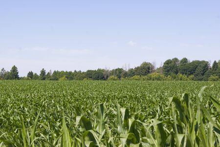 young corn in the field and tree in the far Stock Photo
