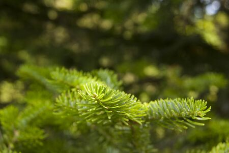 fresh fir twigs closeup, as a background