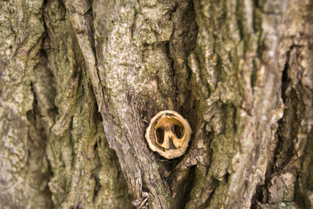 black walnut shell on the bark of the tree