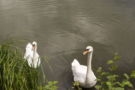 two swans in the lake, floating