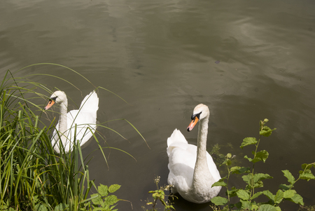 white swans in water, next to the bank