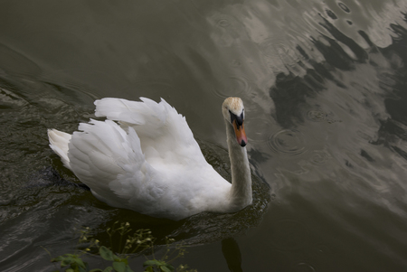 Swan with white feathers, swimming in water