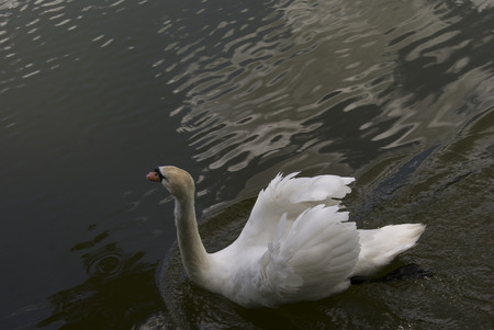 white swan swimming in the lake, in cluody weather
