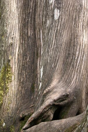 larix bark with moss, as a background, closeup