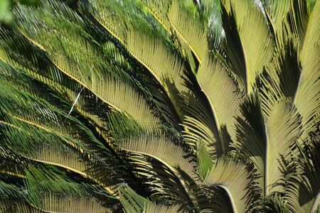 several curled palm leaves as a background, in sunny weather