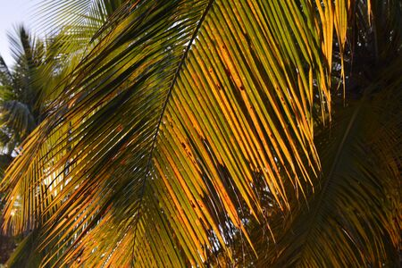 rusty palm leaves under the sun, as a background