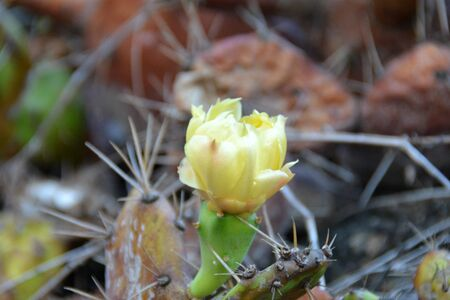 opuntia cactus flower, on the stem, in good weather