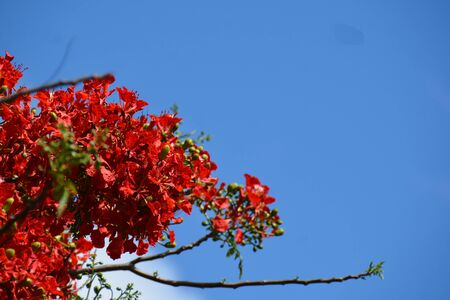 three branches of the flame tree, in blossom, over the cloudy sky