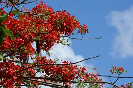 several branches of the flame tree against cloudy sky, in blossom Banque d'images