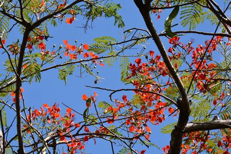 blue sky with several branches of flame tree, in blossom