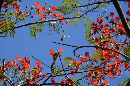 copyspace picture of flame tree branches with bright flowers