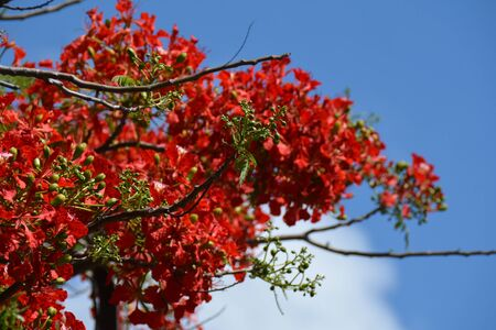 red flame flowers over the cloudy sky, with bare branches