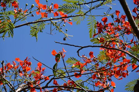 bright red flowers on the flame tree, copyspace