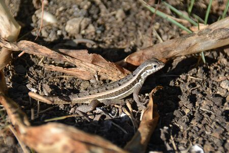 closeup of a lizard at the soil, with dry leaves Banque d'images