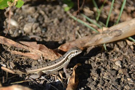 grey lizard on the sun, resting by the leaves