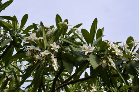 several bunches of medlar flowers, on over the blie sky Banque d'images