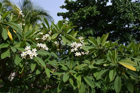 small flowers of medlar tree, in blossom, in good weather