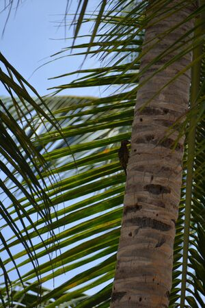 small woodpecker on the palm tree trunk, in good weather Banque d'images
