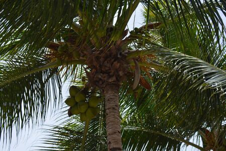 detail of the palm viewed from below, with ripening coconuts