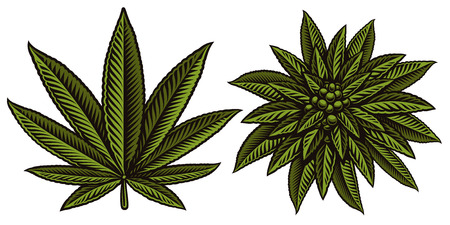 Vector illustration of cannabis leafs on the white background