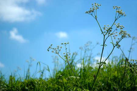 gramineas: Antecedentes hierbas silvestres Foto de archivo