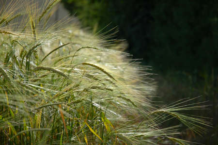 cropcircle: Wheat Field