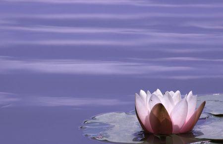 flor loto: Lily Pond